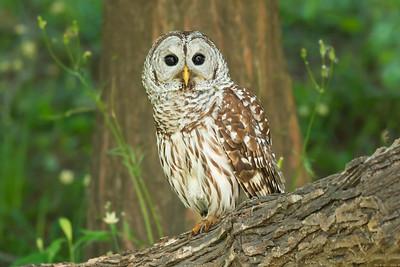 Barred Owl Refugio TX