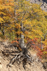 An oak grips the edge of the mountain along Hwy 12 near Naches, WA