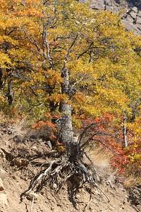 An oak grips the edge of the mountain along Hwy 12 near Naches, WA