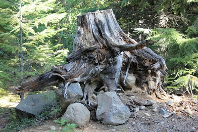 A cool looking stump along the Forest Service road to Bear Creek Mtn.