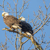 2 Bald Eagles #2