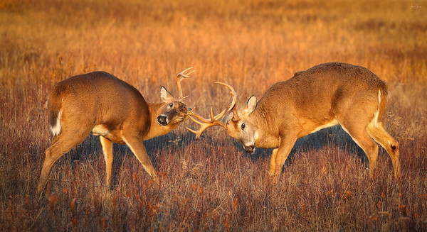 White Tailed Deer duel