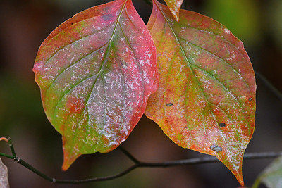 October Dogwood