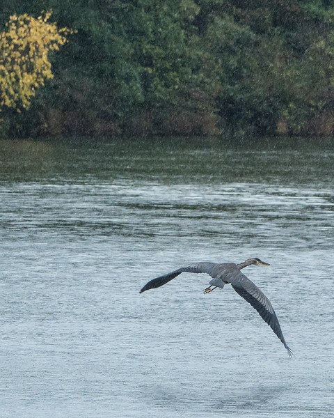 Heron in the rain, Silver Lake , Michigan