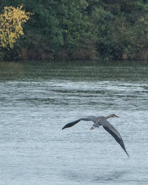 Heron in the rain, Silver Lake , Michigan