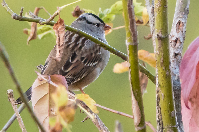 White Crowned Sparrow, McKee Marsh