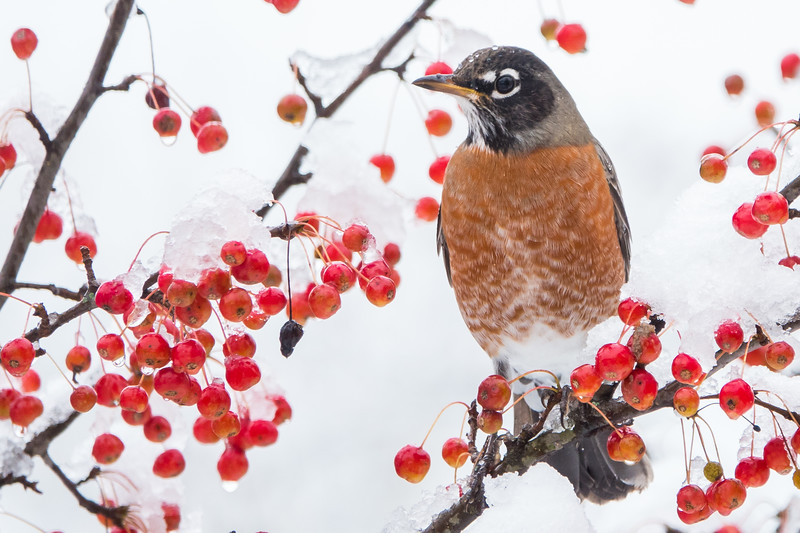 Robins and October Snow