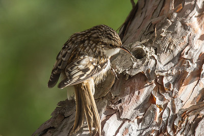Brown Creeper - Voyageurs National Park