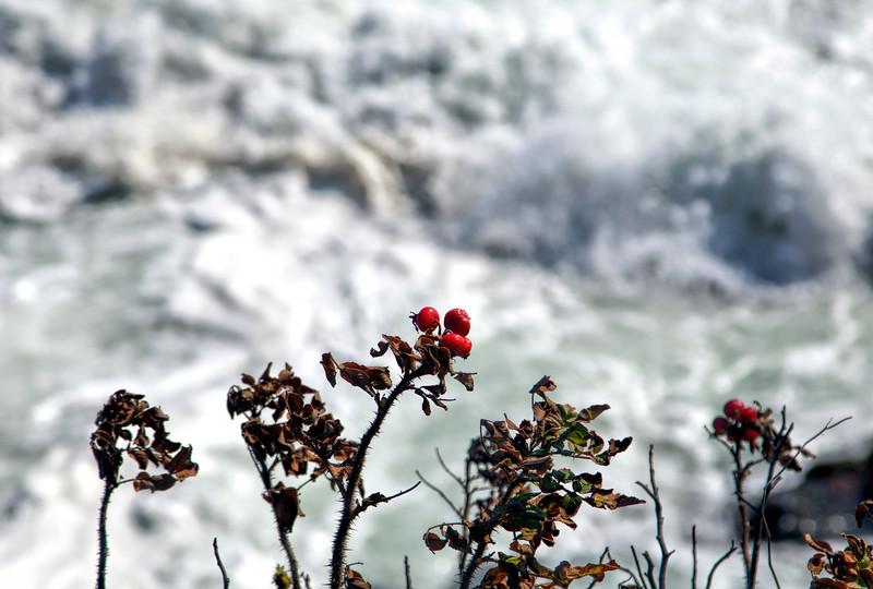Berries and sea foam, Rhode Island Sound
