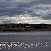 Seabirds take flight, Saguenay