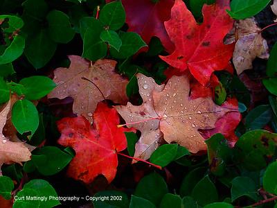 Oregon Fall leaves1
