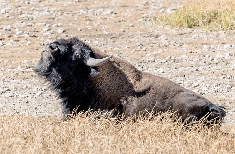 A crazy bison