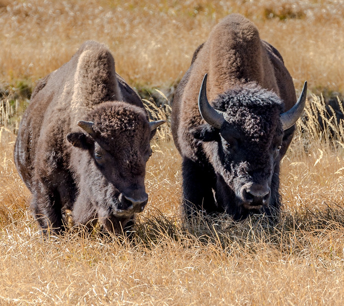Male and Female bison