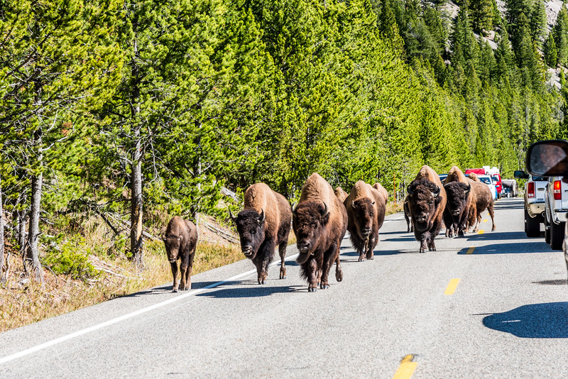 Bison Road Traffic