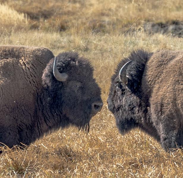 A Bison stare down