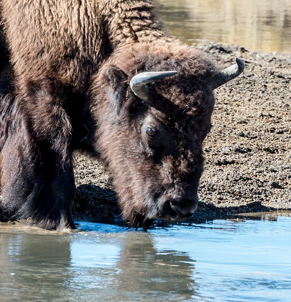 A thirsty bison