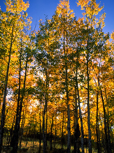 Back-lit aspens and a golden glow