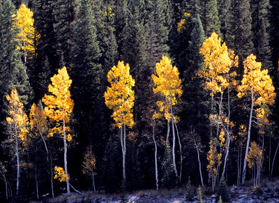These aspens stand out against the dark green blue spruce trees along Wolf Creek Pass in Mineral County, Colorado.