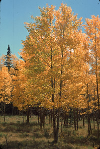 Twin golden aspens along Batchelor Loop Road, Mineral County, CO.