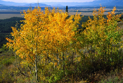 Stand of aspens on Telegraph Hill in Grand Teton National Park