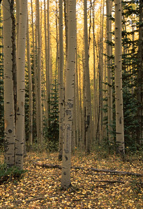"""You can see some of the elk bite marks on these aspen trunks.  The title of this """"Standing Tall"""" shows how straight these trees can grow."""