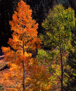 Two aspens, one gold one green, along Hwy 160 on Wolf Creek Pass.