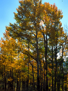 Aspen trees in Mineral County