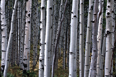 """Aspen forest above Crested Butte, Colorado.   What's that old cliche, """"You can't see the forest for the trees"""". To take this type of photo, set your aperature to f/16 or smaller, manually focus on the nearest tree and shoot."""