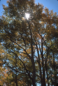 """""""Sun Through the Leaves"""" The sun lights up the aspen trees when you stand in the shade and look up.  Mineral County, Colorado"""