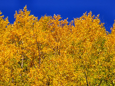 Golden aspens and blue sky