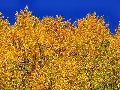 Golden aspens and blue sky