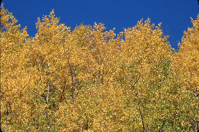 """Gold and Blue"" Aspen trees against a bright blue sky, Mineral County, Colorado."