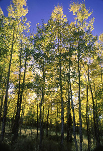 With the sun behind the aspens they seem to glow in the morning.  Mineral County, Colorado