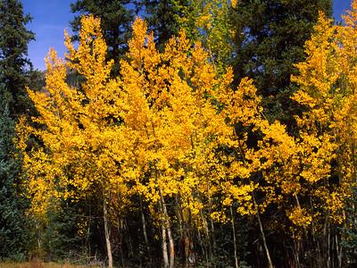 Small aspens next of Douglas firs