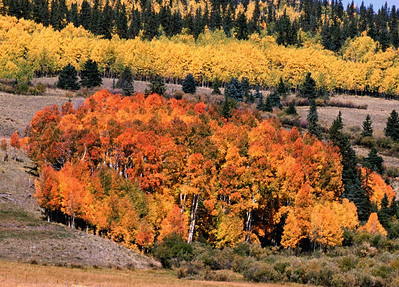The minerals (iron) in the soil caused these aspens to turn orange and red with a mixture of gold.