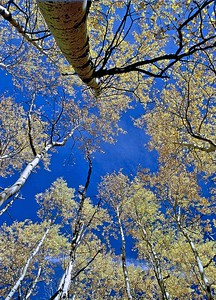 Aspens against the Colorado blue sky