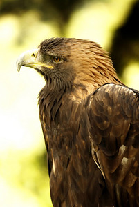 This Golden Eagle was found with a broken wing and brought to Aspen animal rescue.  Unfortunatly, he will never fly again and the people at A.C.E.S.(Aspen Center for Environmental Studies) take care of him.  They also care for a  Red-tail Hawk.