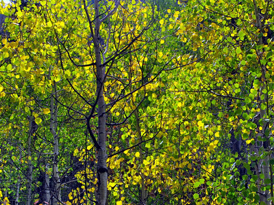 The aspen leaves become translucent when you position yourself where the tree is backlit.  The light becomes golden and makes a great photograph.