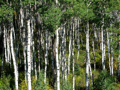 Aspen trees with direct sunlight