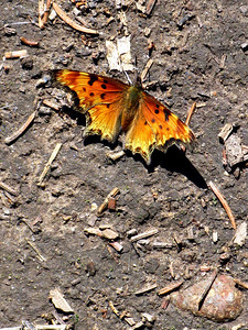 Colorado butterfly:  Zephyr Anglewing