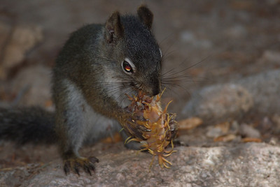 This little fella was gathering pine cones and taking them to his hole in the rocks.