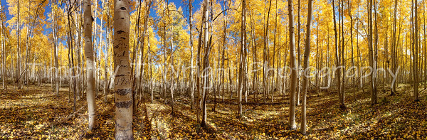 This 180 degree view of an aspen grove is located on Cedar Mountain in Southern Utah.