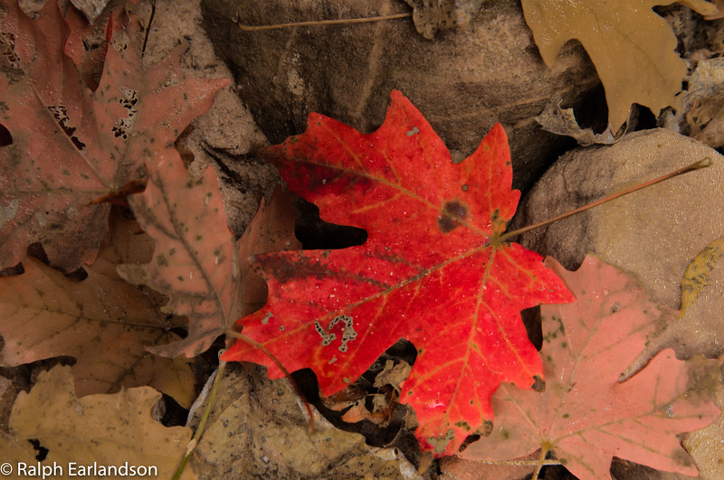 A red maple leaf on the floor of Hidden Canyon, Zion.