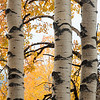 The Three Amigos: Aspens in fall color along Utah Highway 12.