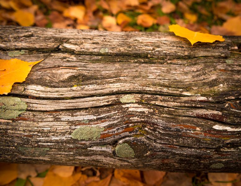 Fall Leaves on Fallen Tree