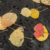 Fallen leaves with raindrops near Utah Highway 12.