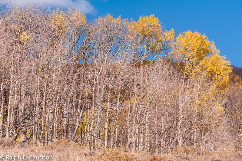 Aspens along Utah Highway 12, with only a few leaves left.