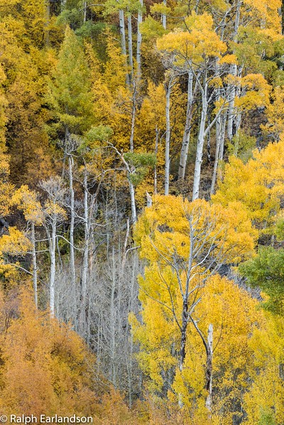 Aspens in fall color near Bishop Creek.