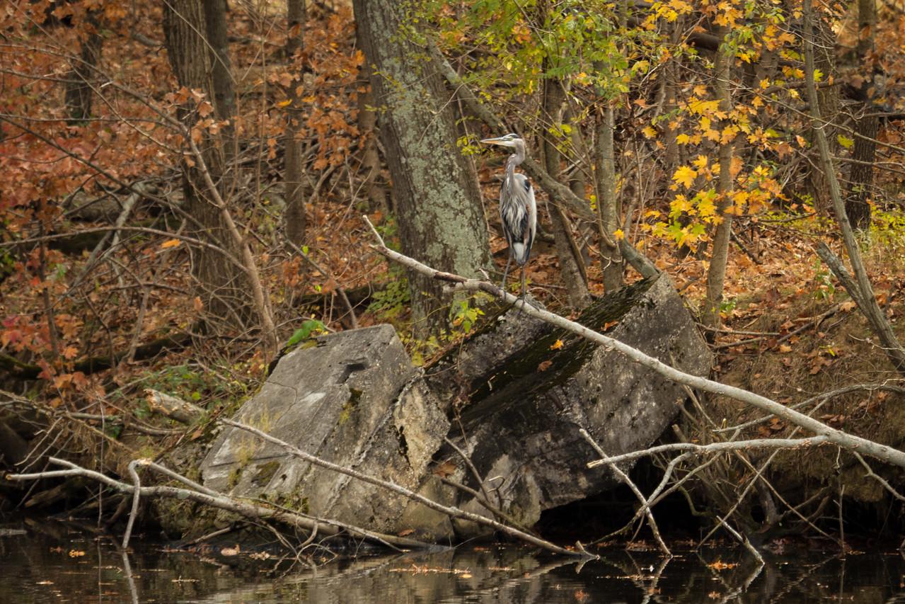 Blue Heron in Centralia