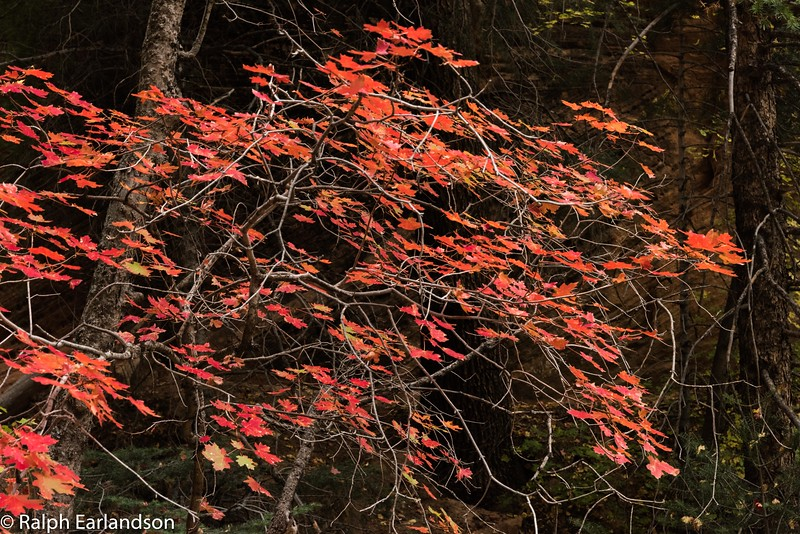 Red maple leaves in Hidden Canyon in Zion.